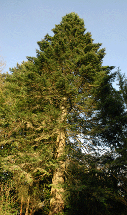 Tall_Tree_Forest_Dweller_111312