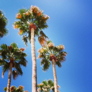 Palm Trees in Scottsdale Arizona